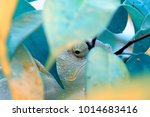 hidden chameleon at leaf  | Shutterstock . vector #1014683416