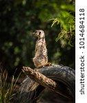 a meerkat  shot during werribee ... | Shutterstock . vector #1014684118