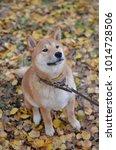 Small photo of Shiba inu red dog