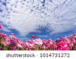spring flowering. magnificent... | Shutterstock . vector #1014731272