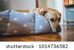 small yellow dog laying down in ... | Shutterstock . vector #1014736582