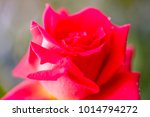close up of rose flowers | Shutterstock . vector #1014794272