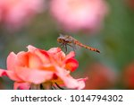 close up of rose flowers | Shutterstock . vector #1014794302