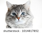 close up view of gray tabby... | Shutterstock . vector #1014817852