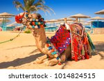 camel resting in shadow on the... | Shutterstock . vector #1014824515