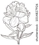 peony graphic illustration of a ... | Shutterstock . vector #1014827926