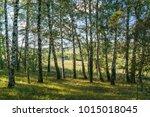 the edge of a birch grove in... | Shutterstock . vector #1015018045