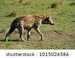 spotted hyena  masai mara... | Shutterstock . vector #1015026586