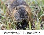 muskrat  ondatra zibethicus  | Shutterstock . vector #1015033915