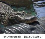 a formidable saltwater... | Shutterstock . vector #1015041052