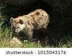 spotted hyena  masai mara... | Shutterstock . vector #1015043176