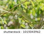 common european chameleon