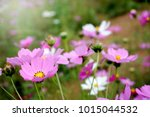 cosmos flowers blooming in the... | Shutterstock . vector #1015044532