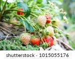 fresh strawberries in the farm. | Shutterstock . vector #1015055176