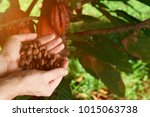 cacao beans on farmer hand... | Shutterstock . vector #1015063738