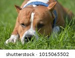 american staffordshire terrier... | Shutterstock . vector #1015065502