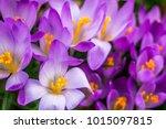 crocus  plural crocuses or...   Shutterstock . vector #1015097815