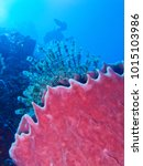 Small photo of Barrel Sponge Scientific Name Xestospongia testudinaria Class Demospongiae Category: Sponges are animals of the phylum Porifera. They are multicellular organisms which have bodies full of pores