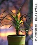 House Plant Dracene On The...
