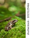 Small photo of Brown Frog Isolated, Bia?owie?a Forest