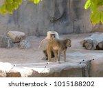 hamadryas baboons  papio... | Shutterstock . vector #1015188202