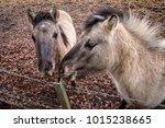 A Hinny Is A Domestic Equine...