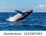breaching whale off sydney... | Shutterstock . vector #1015307692
