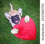 cute chihuahua pug mix puppy... | Shutterstock . vector #1015360702