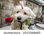 Stock photo little dog brings love and red roses to everyone valentine s day concept with copy space 1015368685