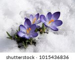 Violet Crocuses With Snow