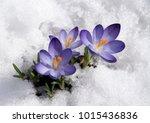 violet crocuses with snow | Shutterstock . vector #1015436836