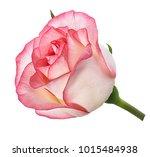 Stock photo rose isolated on white background 1015484938