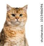 british shorthair cat against... | Shutterstock . vector #1015486096