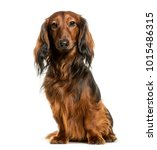 Stock photo dachshund sitting against white background 1015486315