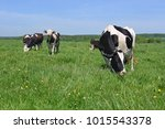 cows  on a summer pasture | Shutterstock . vector #1015543378