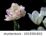 magnificent white tulip admired ... | Shutterstock . vector #1015581832