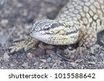 the lizard sits and looks at us ... | Shutterstock . vector #1015588642