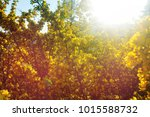 spring scene  blossoming yellow ... | Shutterstock . vector #1015588732