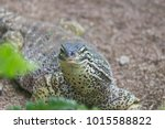 the lizard sits and looks at us ... | Shutterstock . vector #1015588822