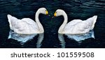 two white swan in lake | Shutterstock . vector #101559508