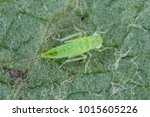 Small photo of The nymph, larva of Empoasca from the family Cicadellidae on leaf of willow