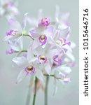 caulaelia orchid mizoguchi ... | Shutterstock . vector #1015646716