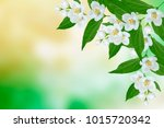 white jasmine. the branch... | Shutterstock . vector #1015720342