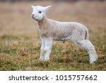 small sheep   goat hybrid baby | Shutterstock . vector #1015757662