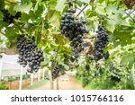 Small photo of Grape farm and close up beautiful grapes wine that is adequately ripe for trader or business or tourism