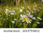 chamomiles in the belarusian... | Shutterstock . vector #1015793812