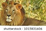 lion looking regal standing ... | Shutterstock . vector #1015831606