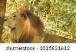 lion looking regal standing ... | Shutterstock . vector #1015831612