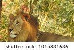 lion looking regal standing ... | Shutterstock . vector #1015831636