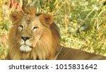 lion looking regal standing ... | Shutterstock . vector #1015831642